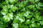 HERB PARSLEY FLAT OG BULK P 30 CT